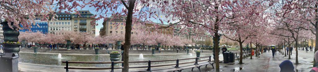 Cherry trees in the spring by Ingemar Pongratz