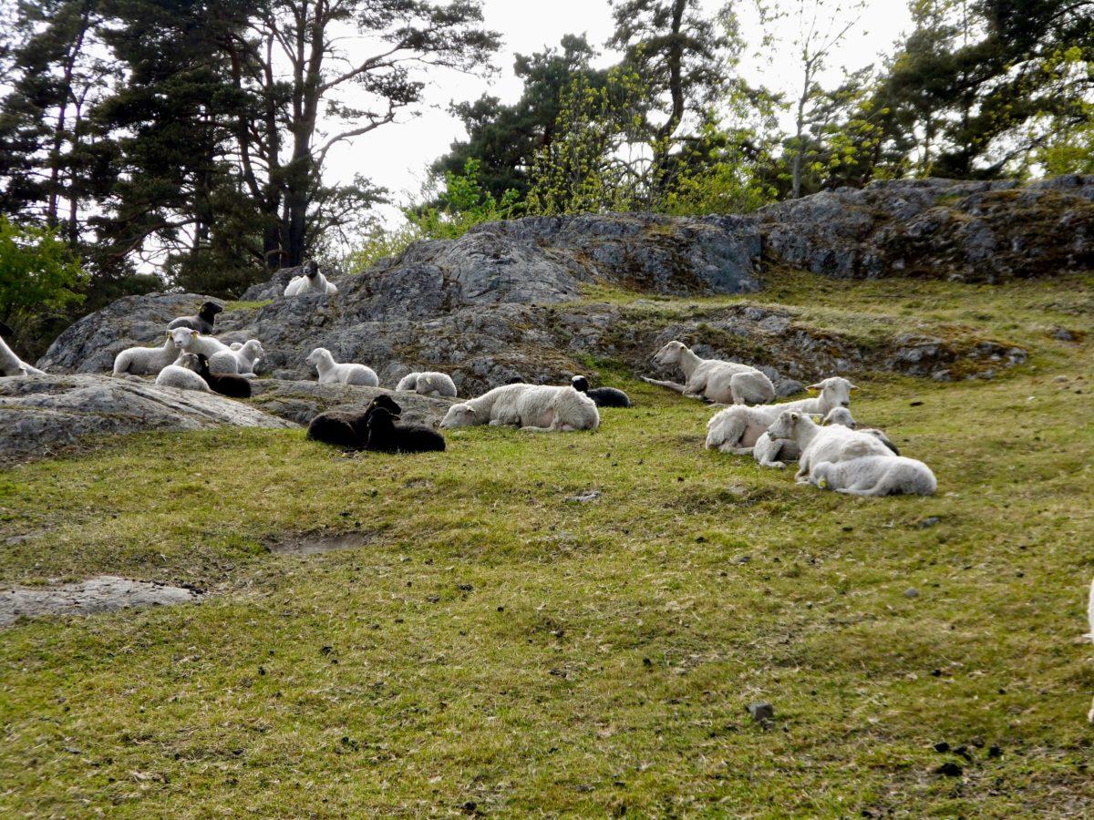 Sheep Pic by Ingemar Pongratz